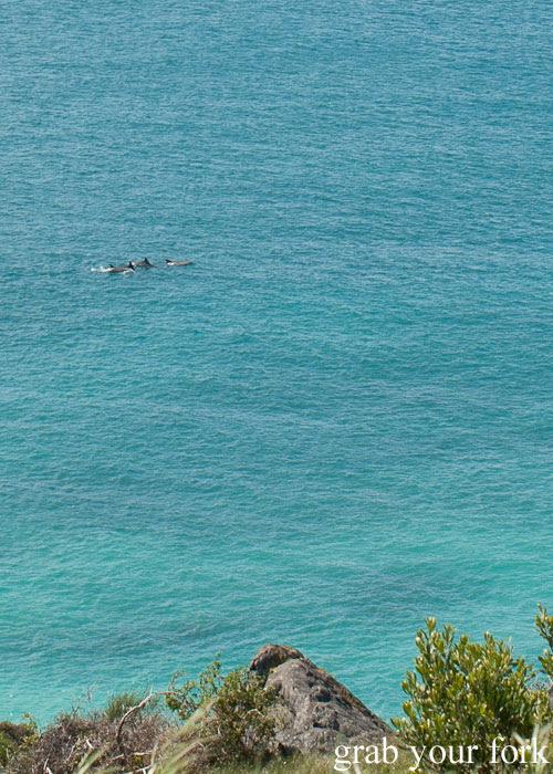 Pod of dolphins off the coast of Kangaroo Island