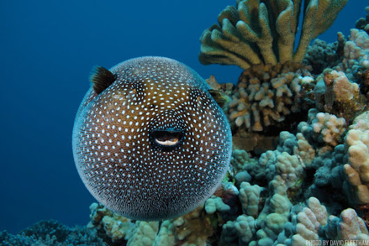 7 Things You Didn't Know About the Pufferfish