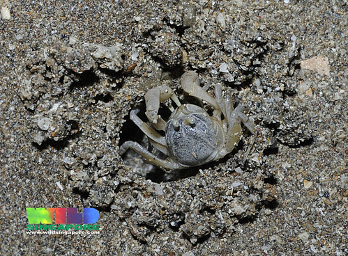 Soldier crab (Dotilla sp.)