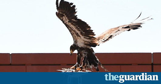 Eagles v drones: Dutch police to take on rogue aircraft with flying squad | World news | The Guardian