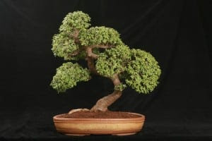 Jade Bonsai Tree