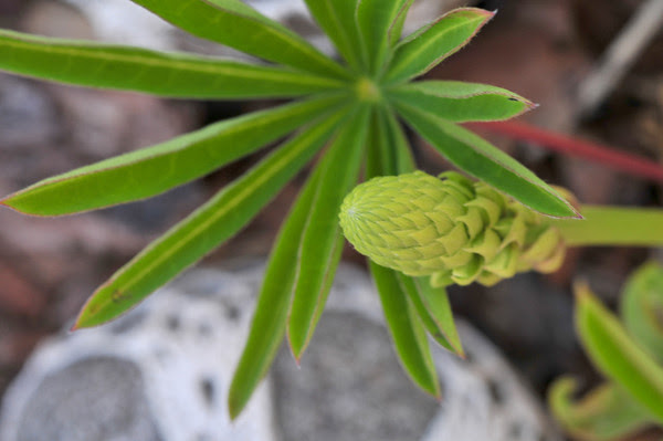 my first lupine