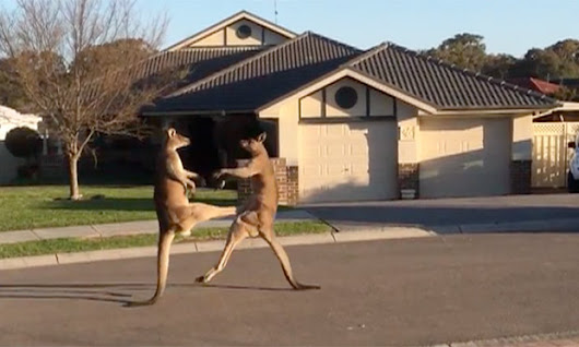 Kangaroos get into boxing match on quiet Australian street - video