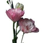 Pink Lisianthus Flower 100 stems
