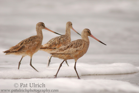 Photograph of three marbled godwits in Point Reyes