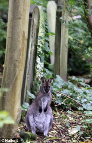 Highgate Cemetery, the final resting place of Karl Marx and Jeremy Beadle, has recently become home to a wallaby