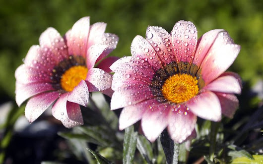 Two beautiful pink flowers - dew drops in the morning