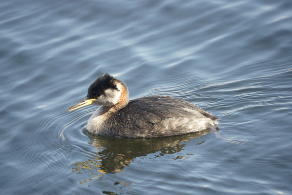 Ed Gaillard: birds &emdash; Red-Necked Grebe, Central Park Reservoir