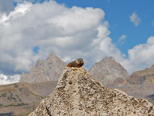 Old Marmot of the Mountains (0251)