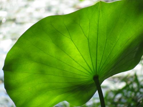 lily pad leaf