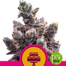 Fruit Cake Autoflower ? Seed Stockers TOP Power!