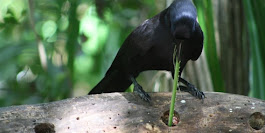 Scientists investigate why crows are so playful