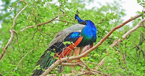 Wild #Peacock on tree branch #wild #nature #beautiful