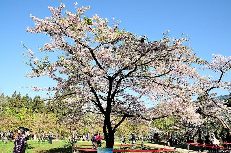 阿里山櫻花季66
