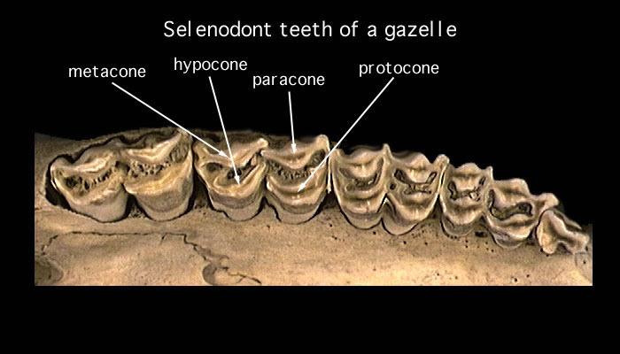 selenodont