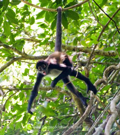 Chatty Spider Monkey