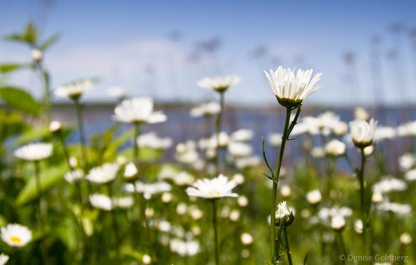 daisies, ocean background