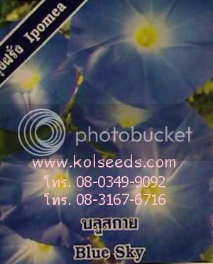ดอกผักบุ้งฝรั่ง