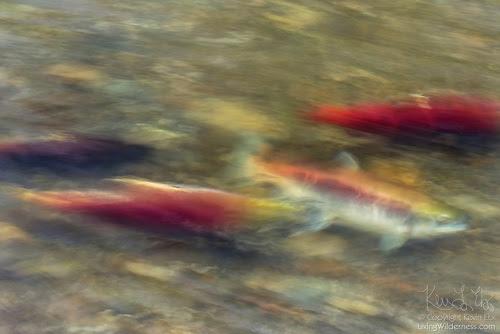 Sockeye Salmon Migrating, Long Exposure, Cedar River, Renton, Washington