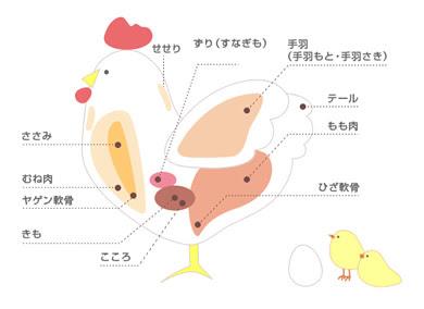 イラスト作品紹介鶏肉の部位の説明図 Illustortoise