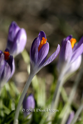 mini crocus