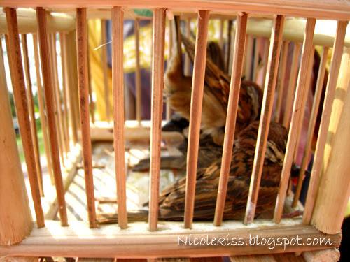 sparrows in cage