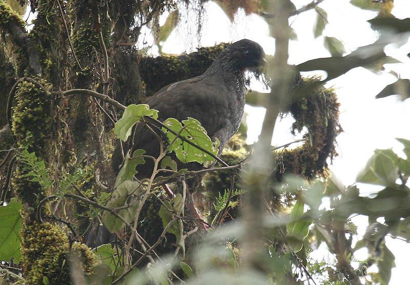 Ficheiro:Andean Guan (Penelope montagnii).jpg