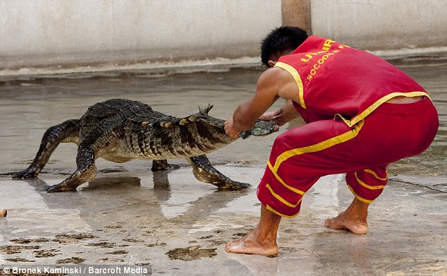 Playtime's not over yet! Somphop wrestles with the crocodile