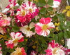 peppermint rose ii