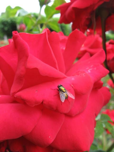 rosefly