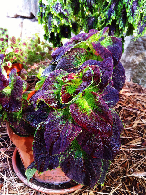 IMG_0332 Coleus collection