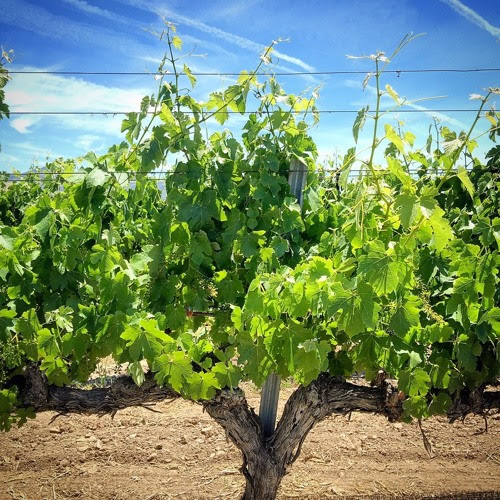 IDTT Wine 409: Rhone Grape Varieties Throughout California by I'll Drink to That! Wine Podcast