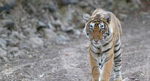 Get Ready to Relish The Extended Weekend as Ranthambore Re-Opens on Oct 1