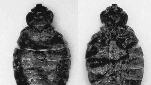 Bedbug-like insects have been around humans for thousands of years, researchers find - ABC News
