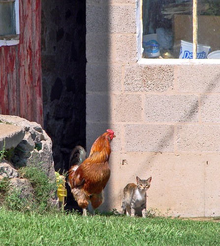 022 cat and rooster, copy