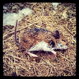 Its COLD out there and it looks like Mickey didn't find a warm place to hunker down last night. Frozen solid. RIP little #mouse #brrrr #newengland #winter #fieldmouse #rip