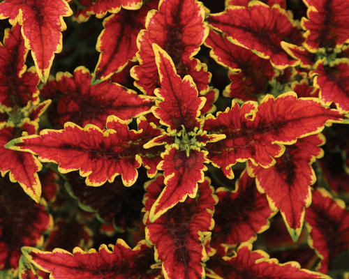 Crazy 'bout coleus - Red Dirt Ramblings®
