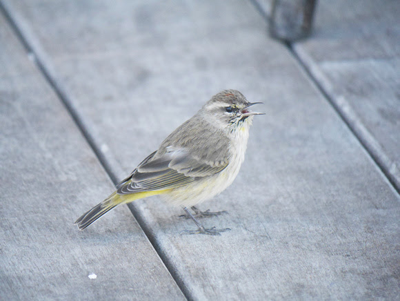 Ed Gaillard: birds &emdash; Palm Warbler, New Providence, Bahamas