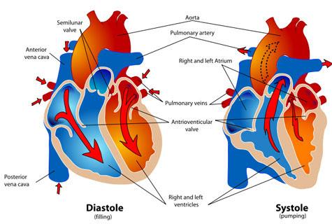 heart description