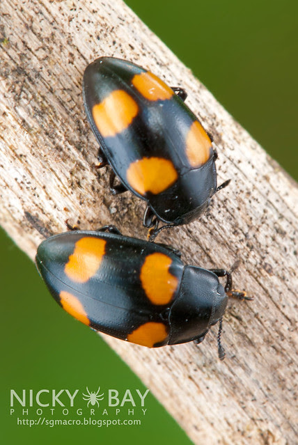 Four Spotted Fungus Beetle - DSC_1590