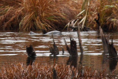 Otters in the Beaver Bog   -21.jpg