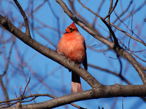Northern Cardinal near Central Park Blockhouse