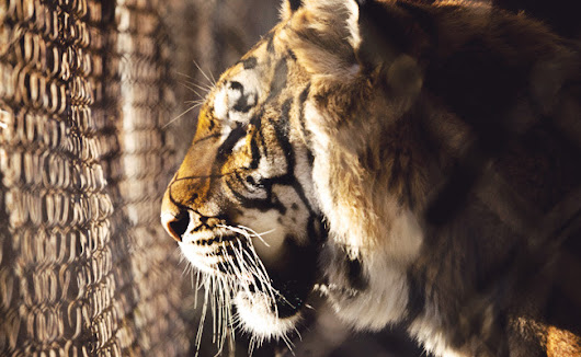 Victory! U.S. Acts To Protect Captive Tigers  | Care2 Causes