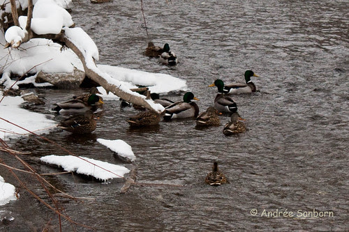 Mallard Ducks on the Crystal Lake outlet to Barton River (2 of 24).jpg