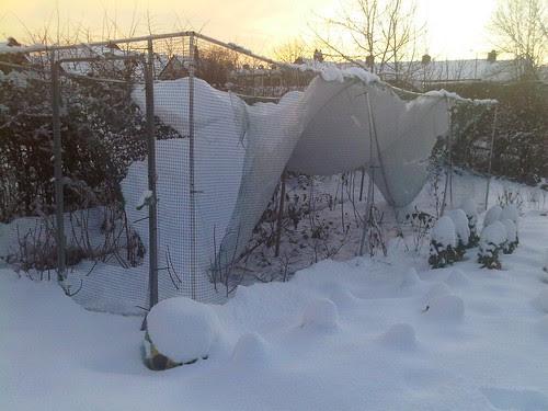 Allotment snow Jan 10 no 5