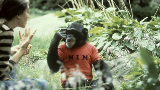 Nim The Chimp and Animal Rights