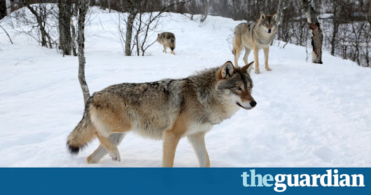 Norway plans to cull more than two-thirds of its wolf population | Environment | The Guardian