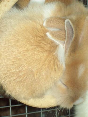Erie County Fair: Baby bunnies!