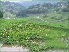 26 tanada and lotus pond