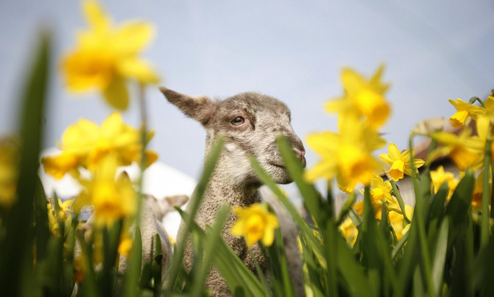 Spring lambs in Bocketts Farm, Leatherhead, Surrey, enjoy the warm weather gamboling among the Daffodils on on St David's Day